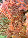 Detail - Sea Fan Royalty Free Stock Photo