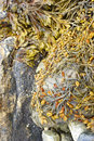 Detail, Seaweed and kelp on beach rocks Royalty Free Stock Images