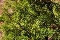 Detail of Sequoiadendron giganteum giant sequoia, giant redwood, Sierra redwood