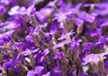 Detail some violet colored flowers focus foreground Stock Photos