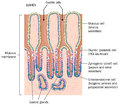 Detail of stomach mucous membrane Royalty Free Stock Photo
