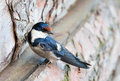 Detail of swallow Royalty Free Stock Photo