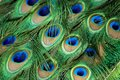 Detail and texture of exotic peacock feathers. Royalty Free Stock Photo