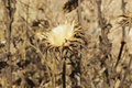 Detail of thistledown of a very dry milk thistle (Silybum marianum) Royalty Free Stock Photo