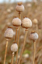 Detail of tree poppyheads on the field dry with shallow focus Royalty Free Stock Images