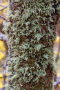 Detail of  a trunk with bark covered by green lichen Royalty Free Stock Photo
