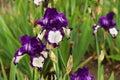 Detail Of Two Irises