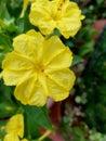 Mirabilis jalapa, or Bella di Notte, yellow flowers