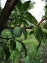 Unripe plum Royalty Free Stock Photo
