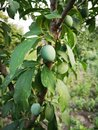 Unripe plum Royalty Free Stock Photo