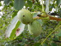 Detail of unripe wallnut on a tree Royalty Free Stock Photo