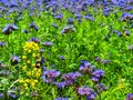 Detail view to blue purple tansy field in countryside in hot summer day green blue purple flowers in blossom are shaking with buzz Royalty Free Stock Image