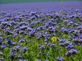 Detail view to blue Purple Tansy field in countryside in hot summer day. Green blue purple flowers in blossom Royalty Free Stock Photo