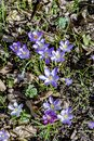 Detail of violet crocus bloomin in the Rosegarden Royalty Free Stock Photo