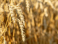 Detail of wheat field gold in sunny day Stock Images