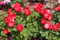 Detail of wild red roses Royalty Free Stock Photo