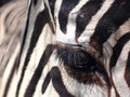 Detail of zebra Stock Images