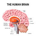 Detailed anatomy of the human brain. Royalty Free Stock Photo