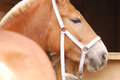 Detailed close up of palomino horse head the Stock Photography