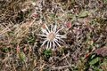 Close up of a single white Carline thistles Carlina acaulis blooming in the italian alps in autumn Royalty Free Stock Photo