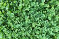 A detailed closeup angle view of bright sunny clover shamrock growth vegetation growth covering Royalty Free Stock Photo
