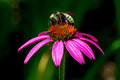 Detailed Closeup of a Beautiful Pink or Purple Coneflower Royalty Free Stock Photo