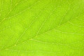 Detailed Green Leaf, Textured Macro Closeup, Large Detailed Horizontal Background Texture Pattern Copy Space