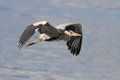 Detailed heron flight photo of a great flying over river douro in the north of portugal Stock Image