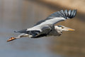 Detailed heron flight photo of a great flying over river douro in the north of portugal Royalty Free Stock Image