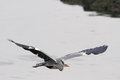 Detailed heron flight photo of a great flying over river douro in the north of portugal Stock Photos