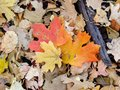 Autumn Maple and Oak Fall Leaves Close Up on the Forest Floor on the Rose Canyon Yellow Fork and Big Rock Trail in Oquirrh Mountai Royalty Free Stock Photo