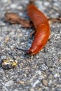 Detailed macro shot of an orange slug creeping on the ground Royalty Free Stock Photo
