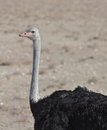 Detailed ostrich view of in africa Stock Images