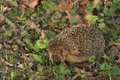 Detailed picture of the european hedgehog in the wood in the spring just after the winter sleep or hibernation close up picure Royalty Free Stock Photos