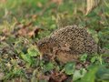 Detailed Picture of the European hedgehog in the wood.in the spring just after the winter sleep or hibernation. Royalty Free Stock Photo