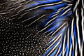 Detailed texture of white and blue pheasant feathers. background and texture Royalty Free Stock Photo