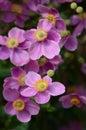 Anemone Japonica In Flower