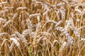 Detailed view at a field with mature and ripe wheat ready for ha closeup of golden harvesting Stock Images