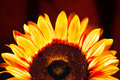 Details of beautiful sunflower Royalty Free Stock Photo