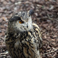 Details of an eurasian eagle owl in captivity Royalty Free Stock Images