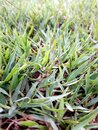Details of green grass in Royalty Free Stock Photo