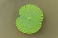 Details of  green lotus leaves over water. Royalty Free Stock Photo