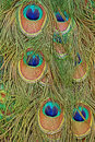 Details of a peacock tail with feather eyes in saturated blues and greens Royalty Free Stock Photo