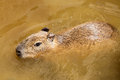 Determined capybara swimming in dirty brown water and focused hydrochoerus hydrochaeris partially submerged Royalty Free Stock Image