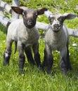 Deux agneaux investigateurs Photo stock