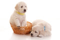 Deux un puppie de mois de golden retriever Photographie stock