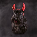 Devil dog scotch terrier wearing a costume in smoke Stock Image