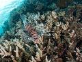 Devil firefish Stock Images