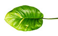 Devil`s ivy, Golden pothos, Epipremnum aureum, Heart shaped leaves vine with large leaves isolated on white background Royalty Free Stock Photo