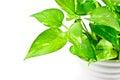 Devil s ivy plant has many name arum golden pothos hunter robe Stock Images